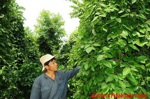 Vườn tiêu xanh tốt của gia đình anh Phan Trọng Hồng xã EaMnang, huyện Cưmgar, Đắk Lắk